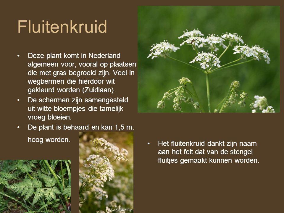 Fluitenkruid •Deze plant komt in Nederland algemeen voor, vooral op plaatsen die met gras begroeid zijn. Veel in wegbermen die hierdoor wit gekleurd w