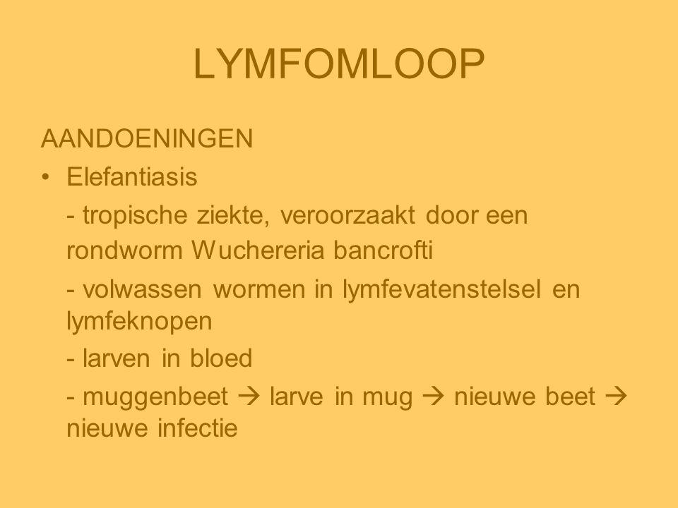 LYMFOMLOOP AANDOENINGEN •Elefantiasis - tropische ziekte, veroorzaakt door een rondworm Wuchereria bancrofti - volwassen wormen in lymfevatenstelsel e