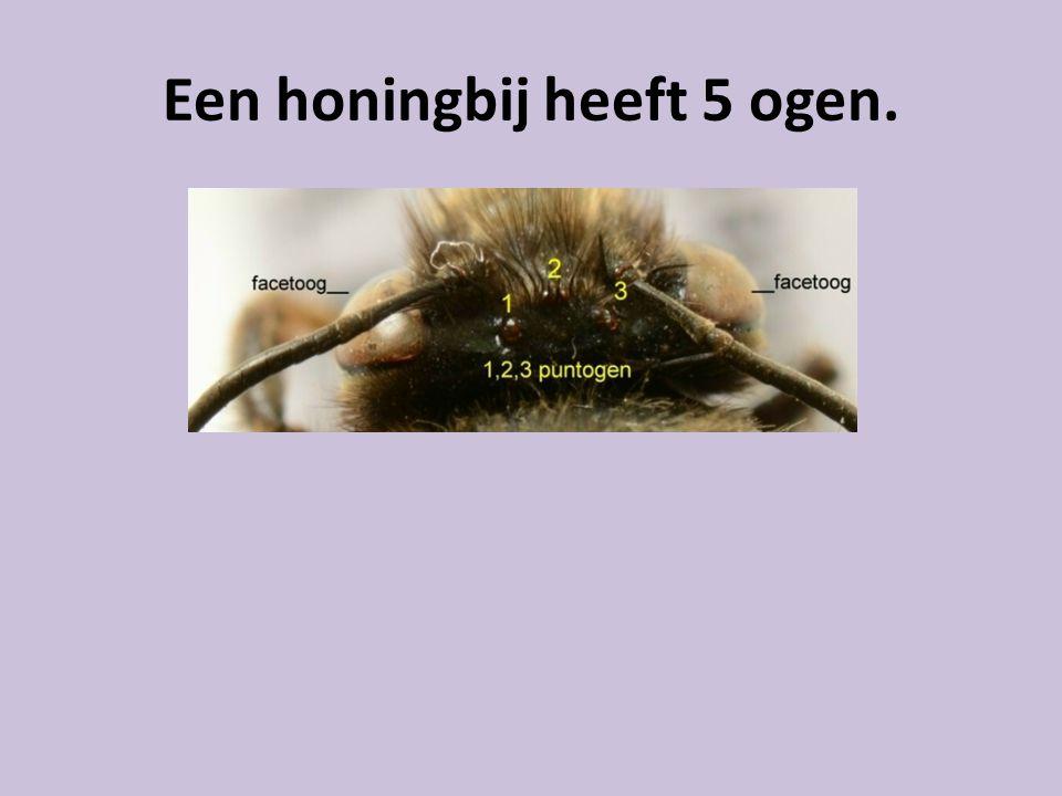 Een honingbij heeft 5 ogen.