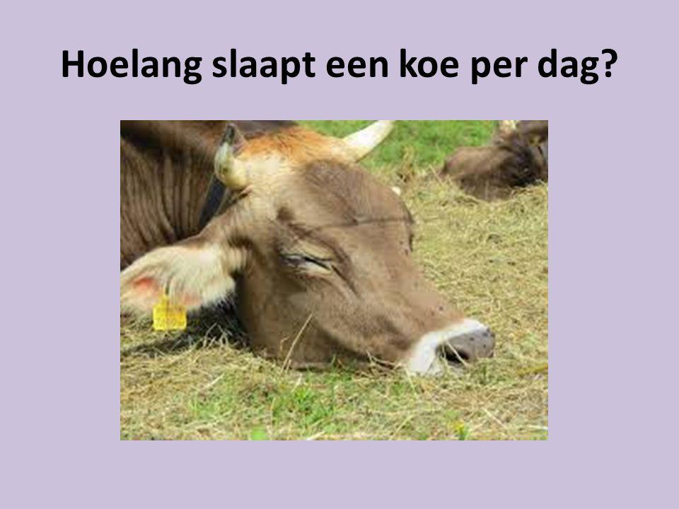 Hoelang slaapt een koe per dag?