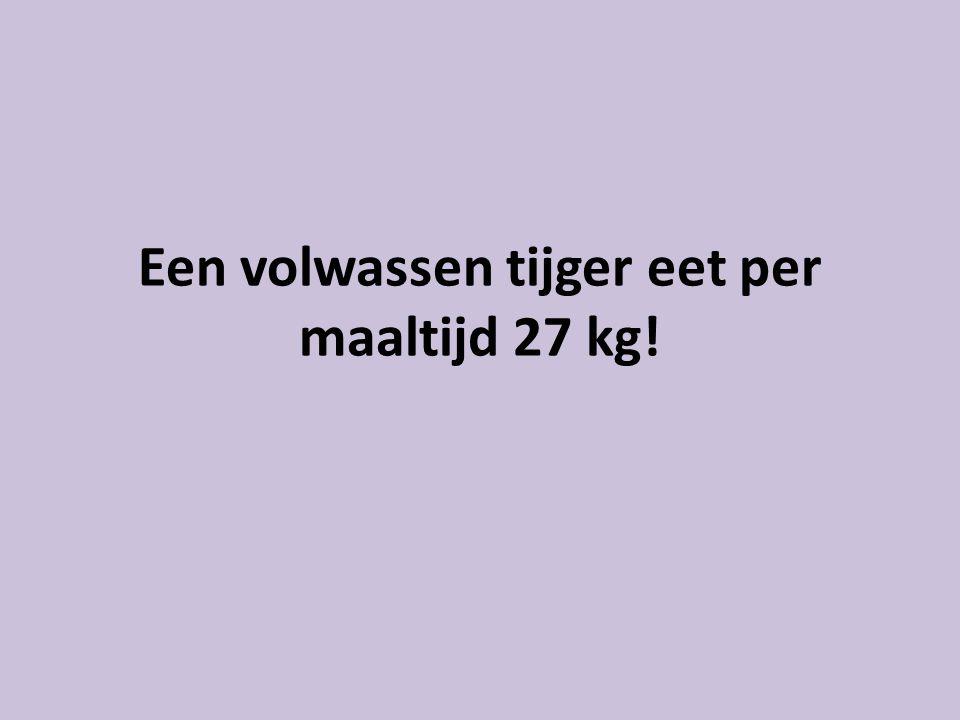 Een volwassen tijger eet per maaltijd 27 kg!