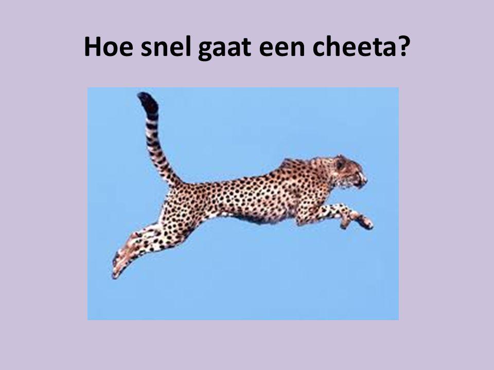 Hoe snel gaat een cheeta?