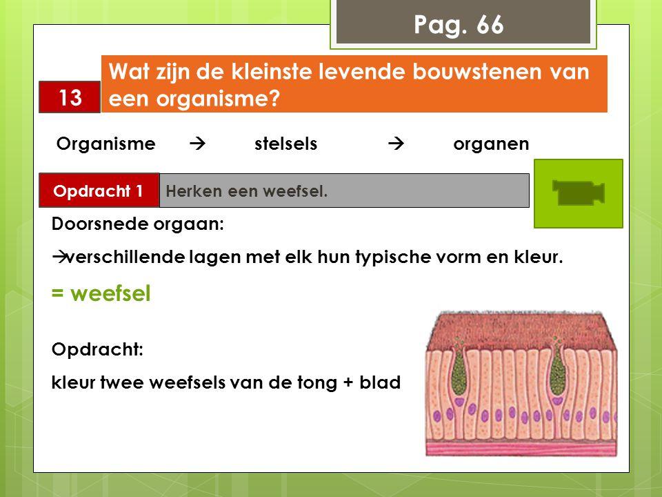 Pag. 66 13 Wat zijn de kleinste levende bouwstenen van een organisme? Opdracht 1 Herken een weefsel. Organisme  stelsels  organen Doorsnede orgaan: