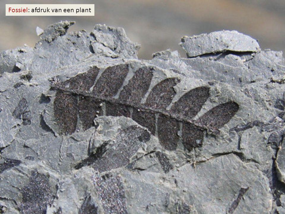 Fossiel: afdruk van een plant