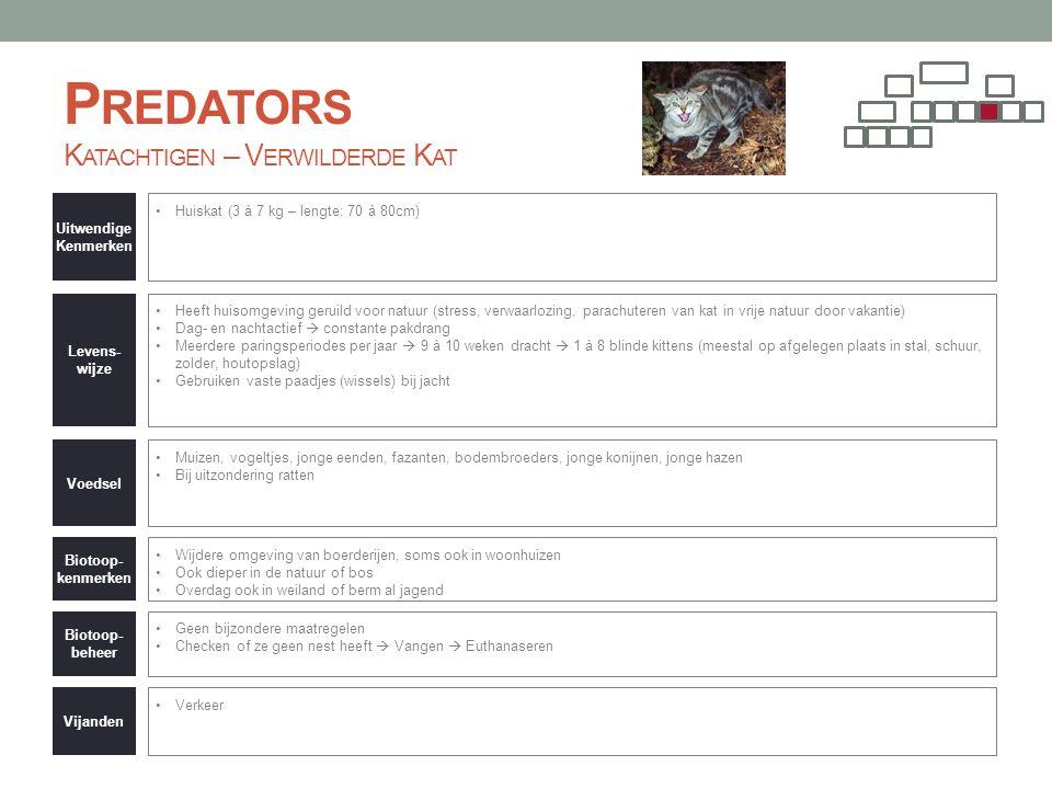 P REDATORS K ATACHTIGEN – V ERWILDERDE K AT Uitwendige Kenmerken •Huiskat (3 à 7 kg – lengte: 70 à 80cm) Levens- wijze •Heeft huisomgeving geruild voo