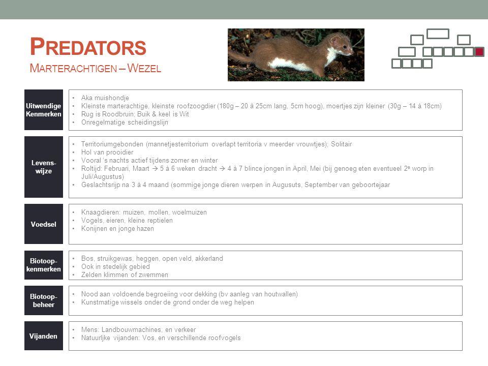 P REDATORS M ARTERACHTIGEN – W EZEL Uitwendige Kenmerken •Aka muishondje •Kleinste marterachtige, kleinste roofzoogdier (180g – 20 à 25cm lang, 5cm ho