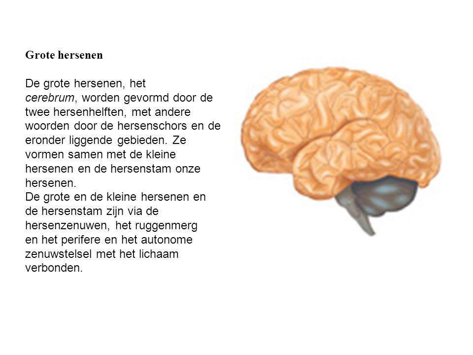 Grote hersenen De grote hersenen, het cerebrum, worden gevormd door de twee hersenhelften, met andere woorden door de hersenschors en de eronder ligge