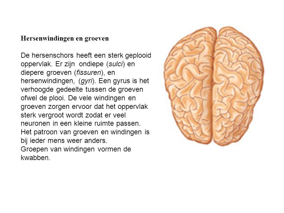 Hersenwindingen en groeven De hersenschors heeft een sterk geplooid oppervlak. Er zijn ondiepe (sulci) en diepere groeven (fissuren), en hersenwinding