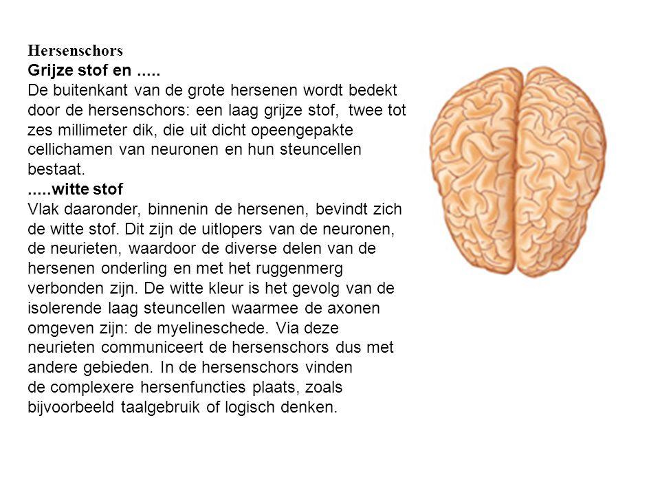 Hersenschors Grijze stof en..... De buitenkant van de grote hersenen wordt bedekt door de hersenschors: een laag grijze stof, twee tot zes millimeter