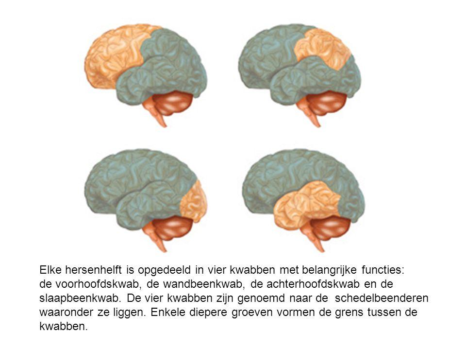 Elke hersenhelft is opgedeeld in vier kwabben met belangrijke functies: de voorhoofdskwab, de wandbeenkwab, de achterhoofdskwab en de slaapbeenkwab. D