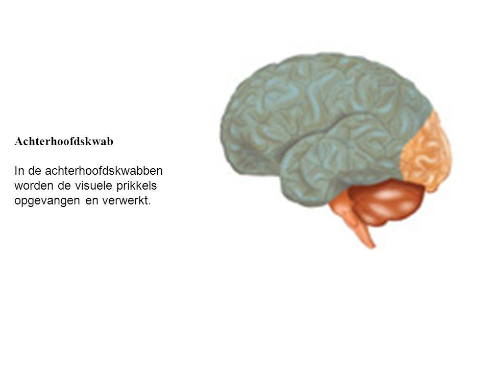 Achterhoofdskwab In de achterhoofdskwabben worden de visuele prikkels opgevangen en verwerkt.