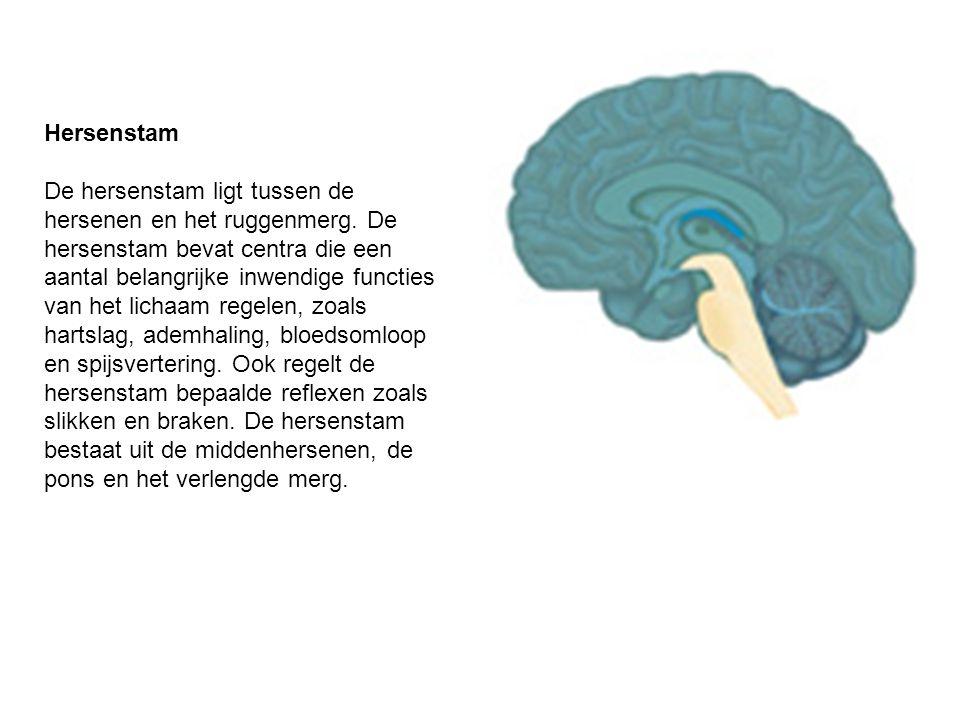 Hersenstam De hersenstam ligt tussen de hersenen en het ruggenmerg. De hersenstam bevat centra die een aantal belangrijke inwendige functies van het l
