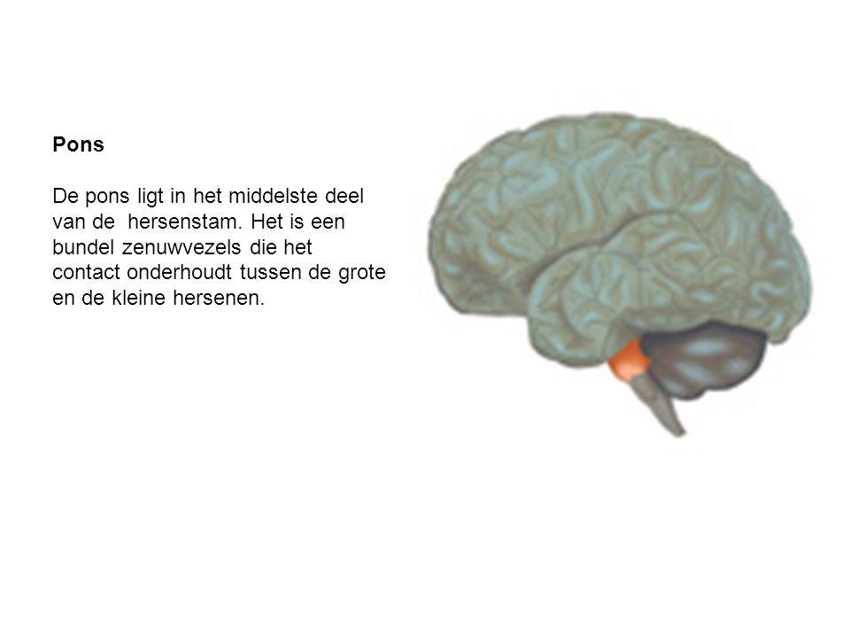 Pons De pons ligt in het middelste deel van de hersenstam. Het is een bundel zenuwvezels die het contact onderhoudt tussen de grote en de kleine herse