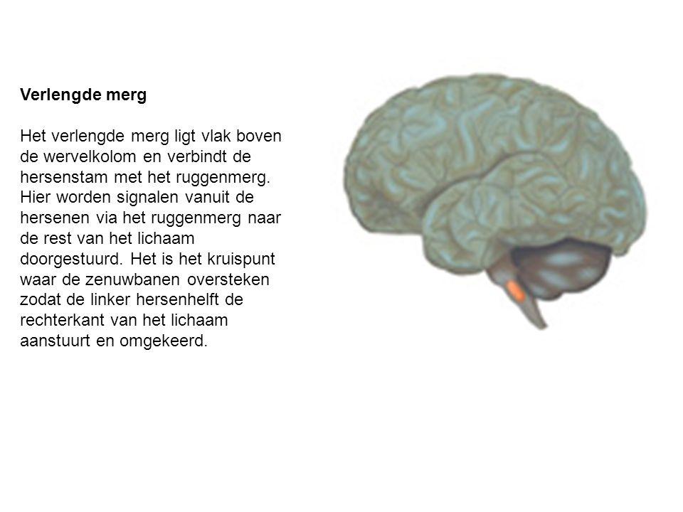 Verlengde merg Het verlengde merg ligt vlak boven de wervelkolom en verbindt de hersenstam met het ruggenmerg. Hier worden signalen vanuit de hersenen