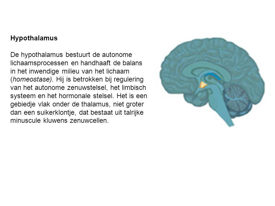 Hypothalamus De hypothalamus bestuurt de autonome lichaamsprocessen en handhaaft de balans in het inwendige milieu van het lichaam (homeostase). Hij i