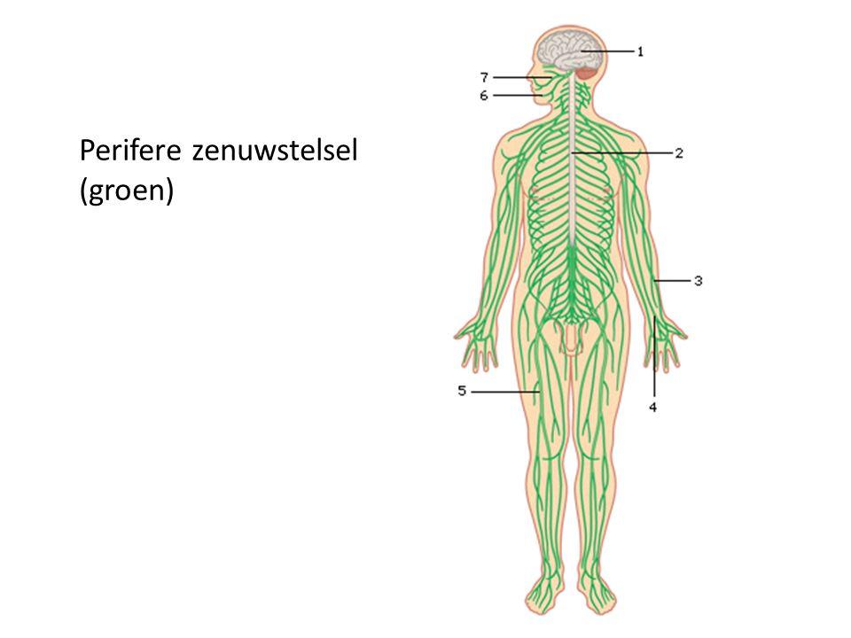 Perifere zenuwstelsel (groen)