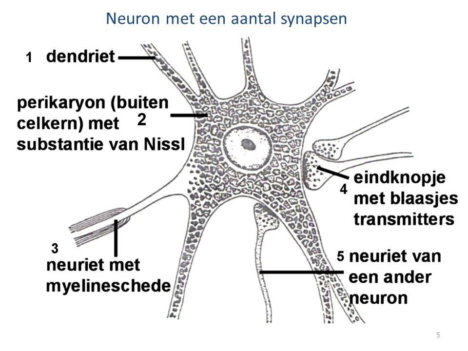 Neuriet of axon of zenuwvezel • Axon kan zeer lang zijn, onvoldoende voeding door celkern • Neuriet is omgeven door myelineschede, soort witte isolatie, zorgt voor voeding en prikkelgeleiding • Met op regelmatige afstand insnoeringen.