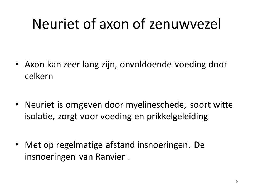 Neuriet of axon of zenuwvezel • Axon kan zeer lang zijn, onvoldoende voeding door celkern • Neuriet is omgeven door myelineschede, soort witte isolati