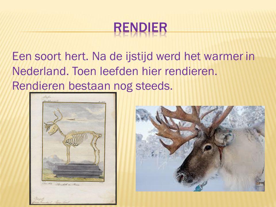 Een soort hert. Na de ijstijd werd het warmer in Nederland. Toen leefden hier rendieren. Rendieren bestaan nog steeds.