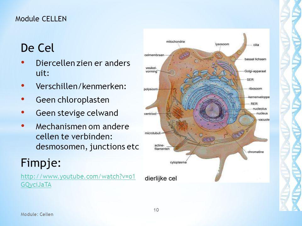 De Cel • Diercellen zien er anders uit: • Verschillen/kenmerken: • Geen chloroplasten • Geen stevige celwand • Mechanismen om andere cellen te verbind