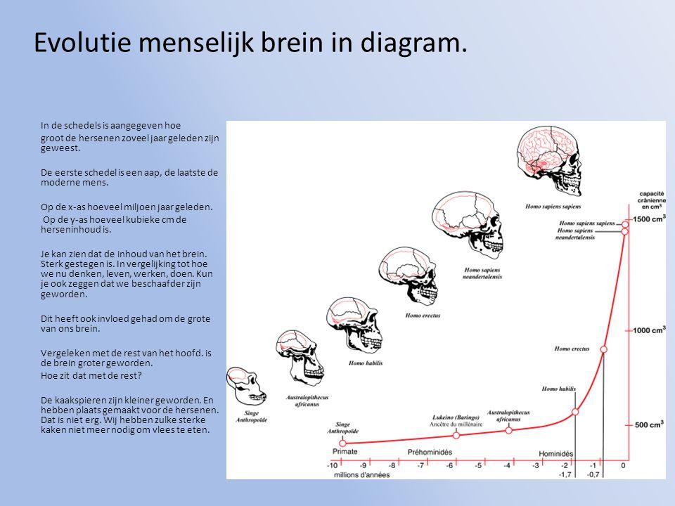 Evolutie menselijk brein in diagram. In de schedels is aangegeven hoe groot de hersenen zoveel jaar geleden zijn geweest. De eerste schedel is een aap