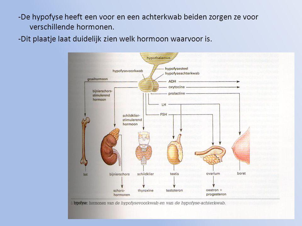 -De hypofyse heeft een voor en een achterkwab beiden zorgen ze voor verschillende hormonen. -Dit plaatje laat duidelijk zien welk hormoon waarvoor is.