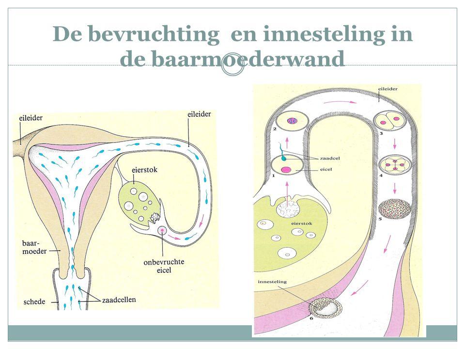 De bevruchting en innesteling in de baarmoederwand