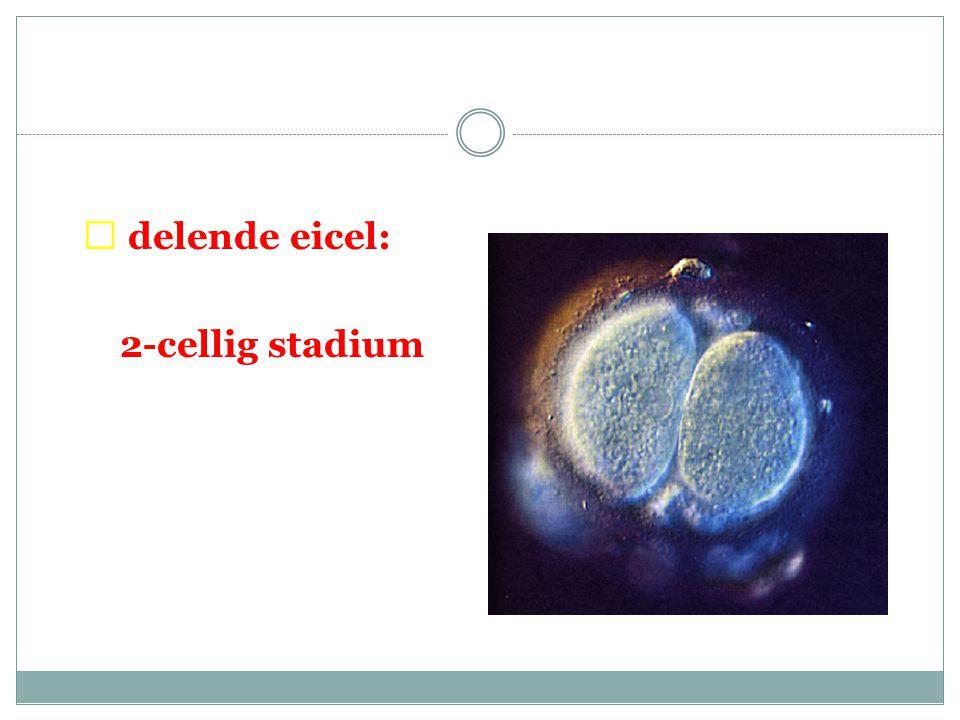  delende eicel: 2-cellig stadium