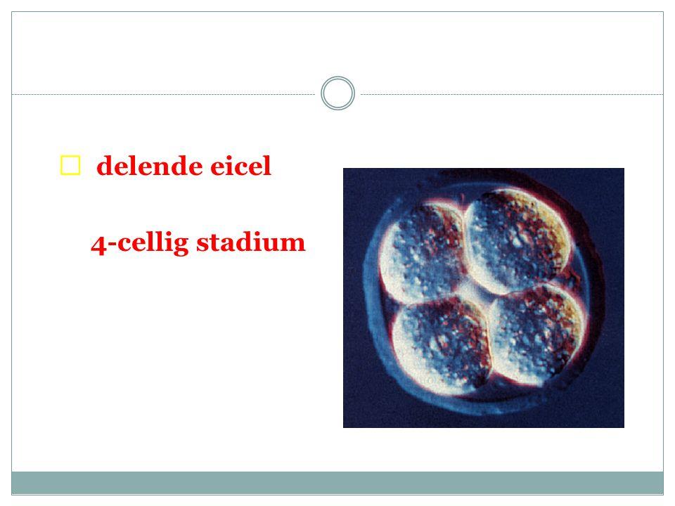  delende eicel 4-cellig stadium