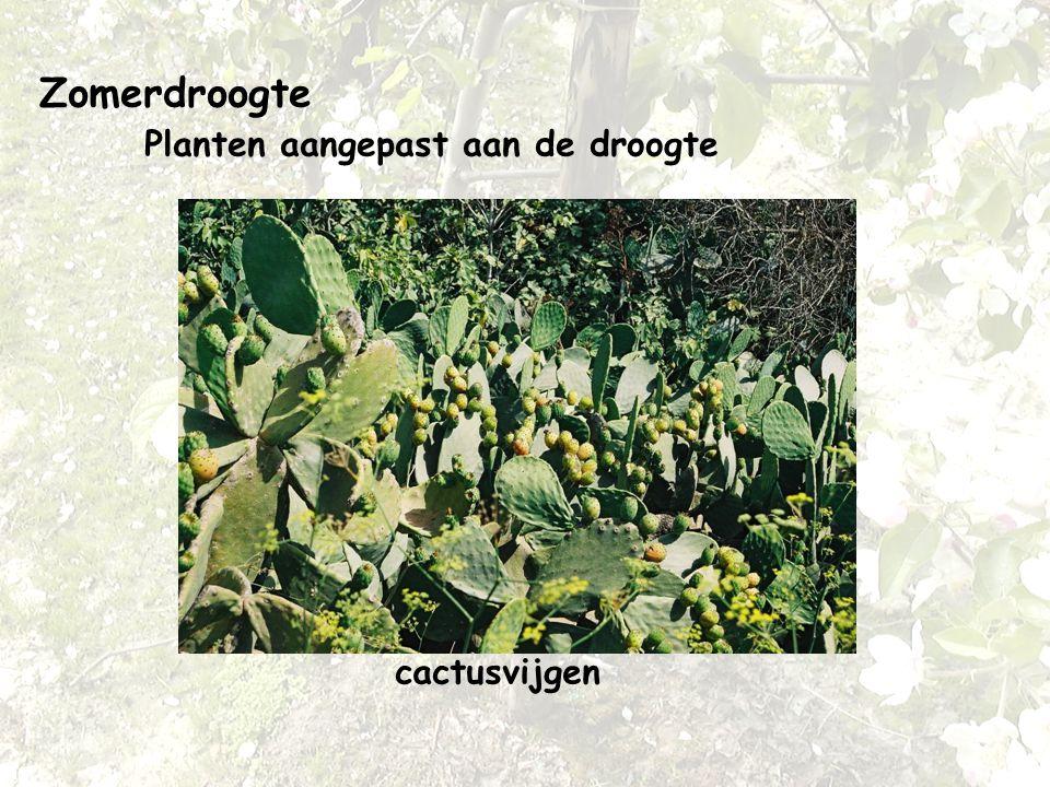 Zomerdroogte Planten aangepast aan de droogte cactusvijgen