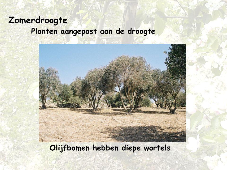 Zomerdroogte Planten aangepast aan de droogte Olijfbomen hebben diepe wortels