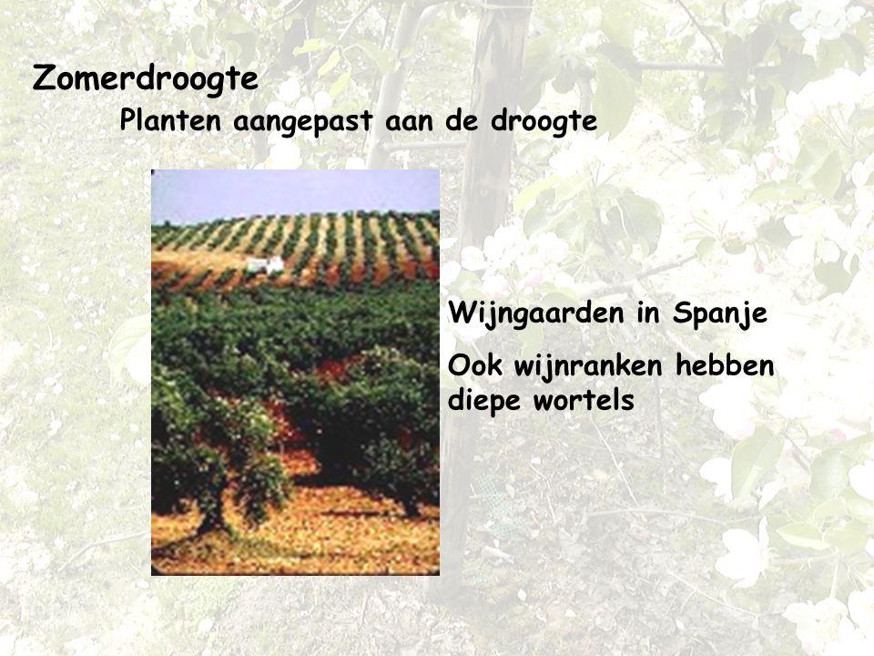 Zomerdroogte Planten aangepast aan de droogte Wijngaarden in Spanje Ook wijnranken hebben diepe wortels