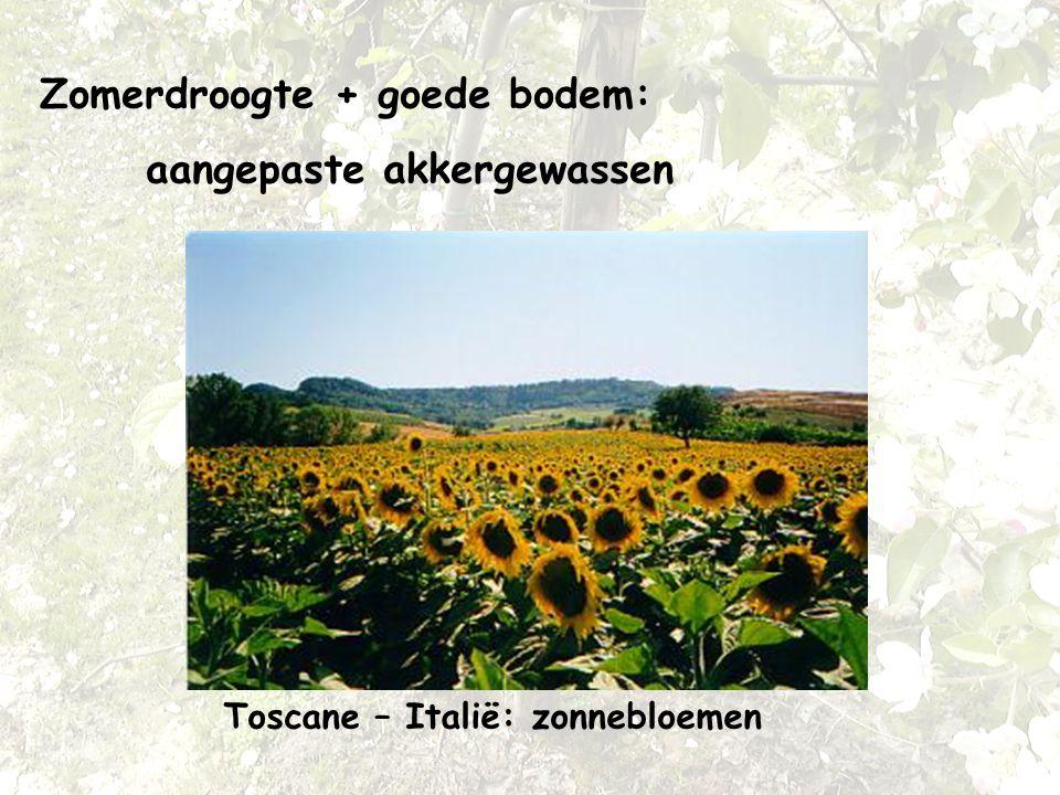 Zomerdroogte + goede bodem: aangepaste akkergewassen Toscane – Italië: zonnebloemen