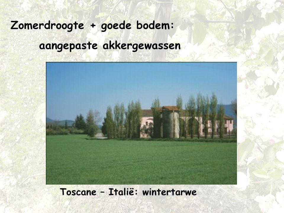 Zomerdroogte + goede bodem: aangepaste akkergewassen Toscane – Italië: wintertarwe