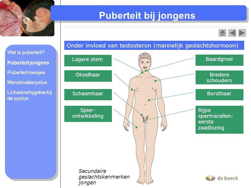 Secundaire geslachtskenmerken jongen Puberteit bij jongens Onder invloed van testosteron (mannelijk geslachtshormoon) Baardgroei Lagere stem Bredere s
