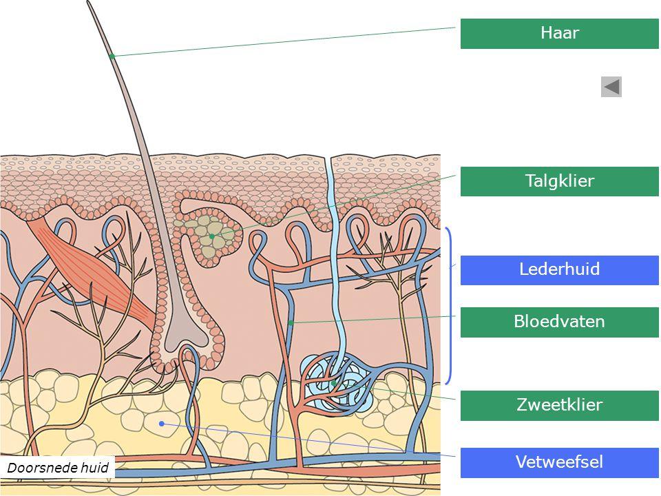 Doorsnede huid Lederhuid Haar Talgklier Bloedvaten Zweetklier Vetweefsel