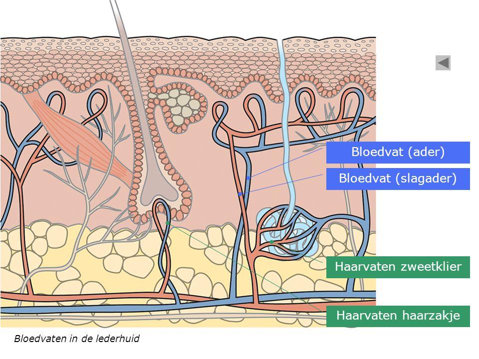 Bloedvaten in de lederhuid Bloedvat (ader) Bloedvat (slagader) Haarvaten zweetklier Haarvaten haarzakje
