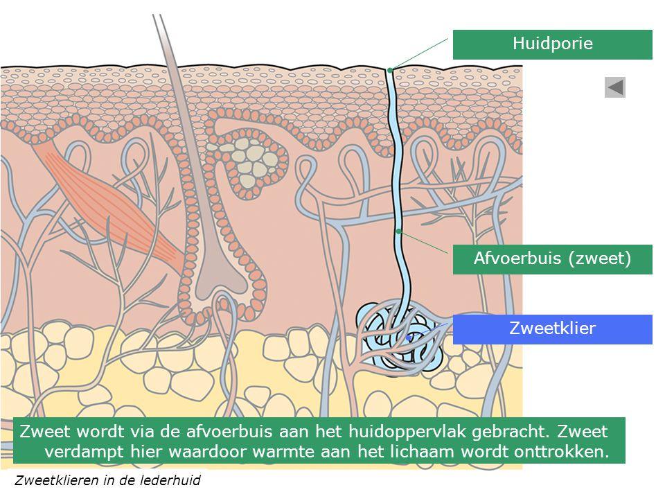 Zweetklieren in de lederhuid Zweetklier Afvoerbuis (zweet) Huidporie Zweet wordt via de afvoerbuis aan het huidoppervlak gebracht. Zweet verdampt hier