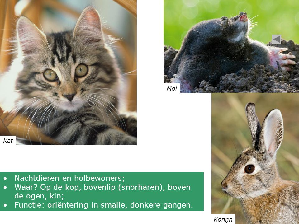 Kat Mol Konijn •Nachtdieren en holbewoners; •Waar? Op de kop, bovenlip (snorharen), boven de ogen, kin; •Functie: oriëntering in smalle, donkere gange