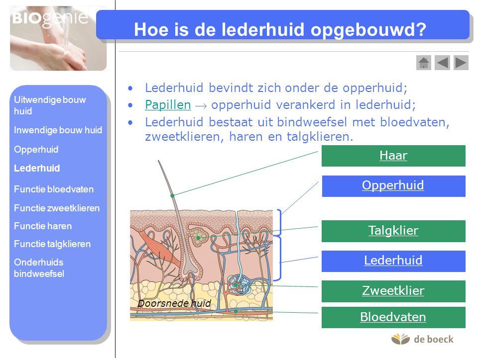 Hoe is de lederhuid opgebouwd? •Lederhuid bevindt zich onder de opperhuid; •Papillen  opperhuid verankerd in lederhuid;Papillen •Lederhuid bestaat ui
