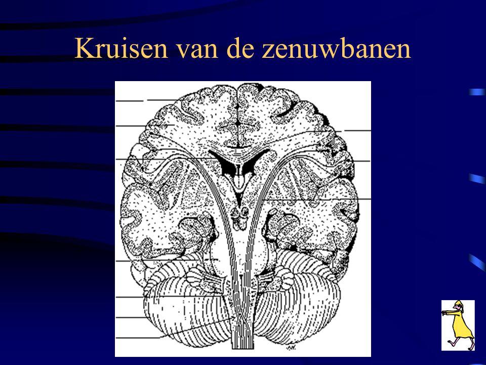 Werking •Willekeurig zenuwstelsel •Onwillekeurig (autonoom) zenuwstelsel •Prikkeloverdracht •Kruisen zenuwbanenKruisen zenuwbanen •ReflexenReflexen •D