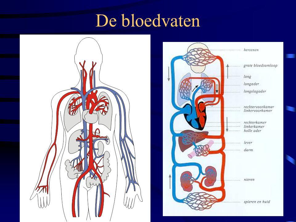De bloedvaten •Slagaders (arteriën) •Aders (venen) •Haarvaten (capillairen)