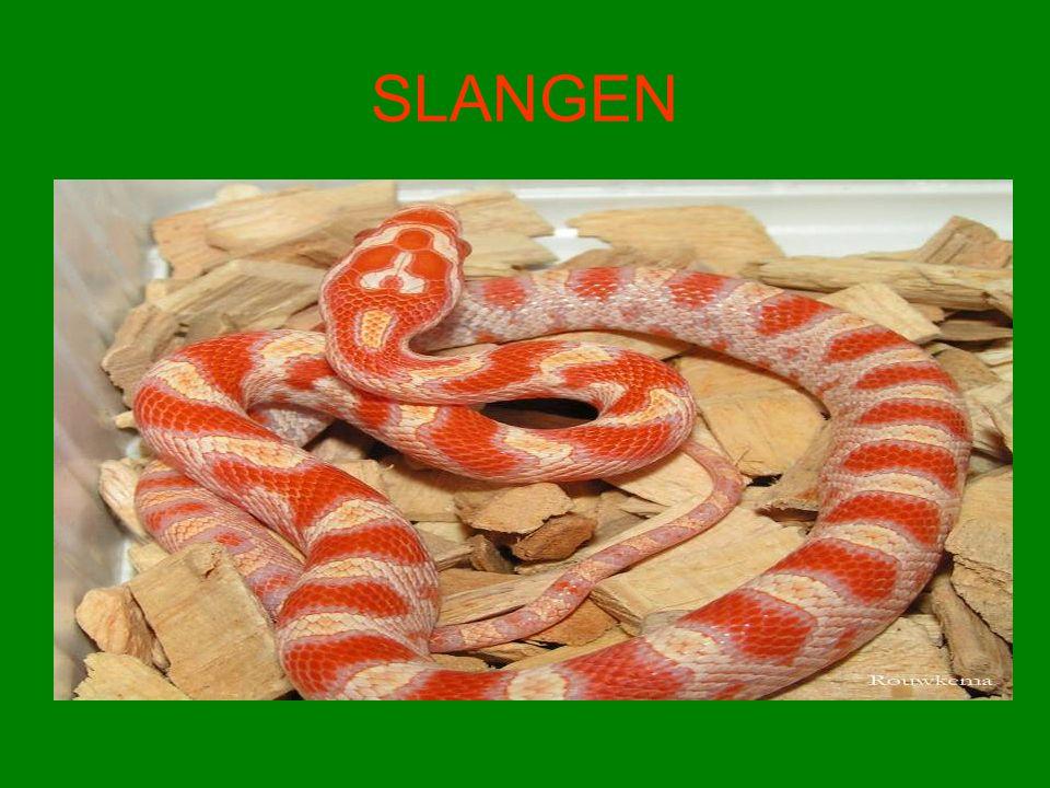 Wat zijn slangen.•Slangen zijn reptielen. •Het zijn koelbloedige dieren d.w.z.