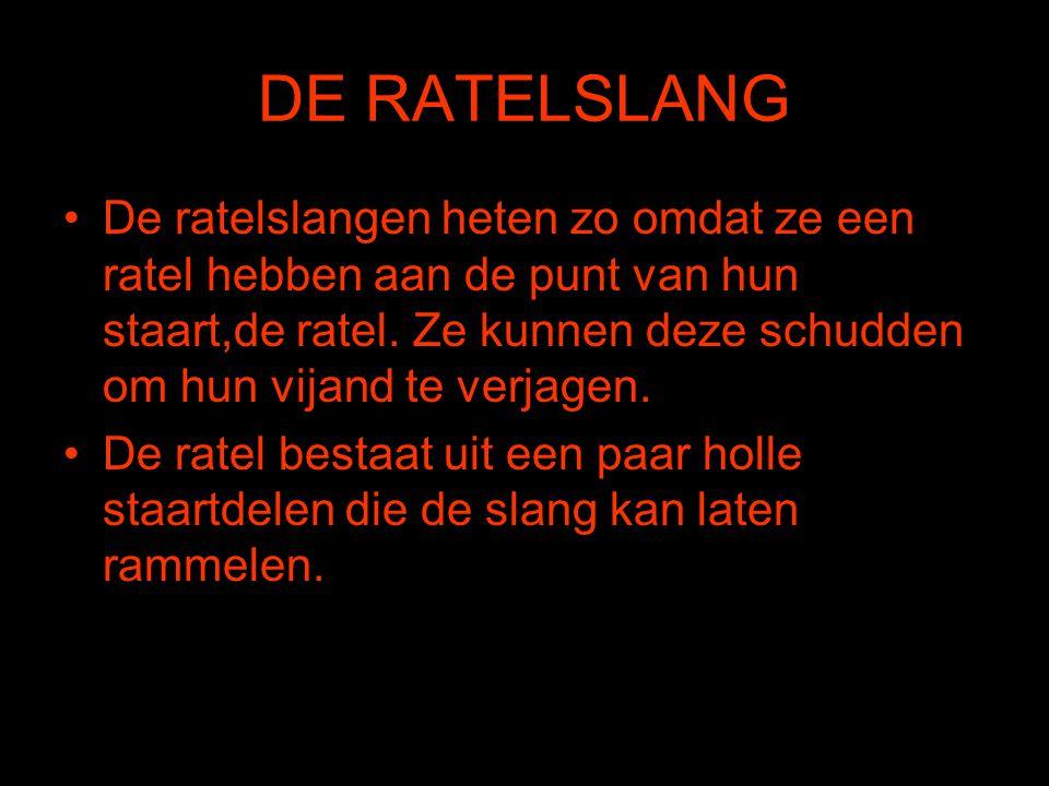 DE RATELSLANG •De ratelslangen heten zo omdat ze een ratel hebben aan de punt van hun staart,de ratel. Ze kunnen deze schudden om hun vijand te verjag