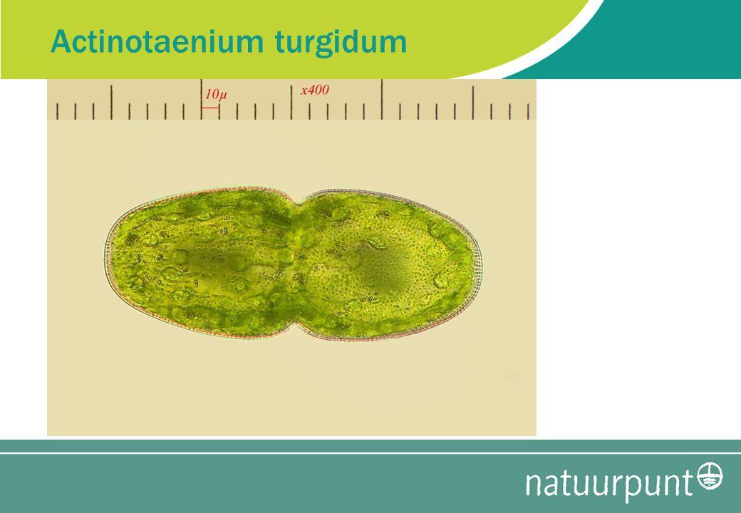Actinotaenium turgidum