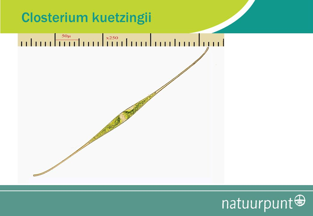 Closterium kuetzingii