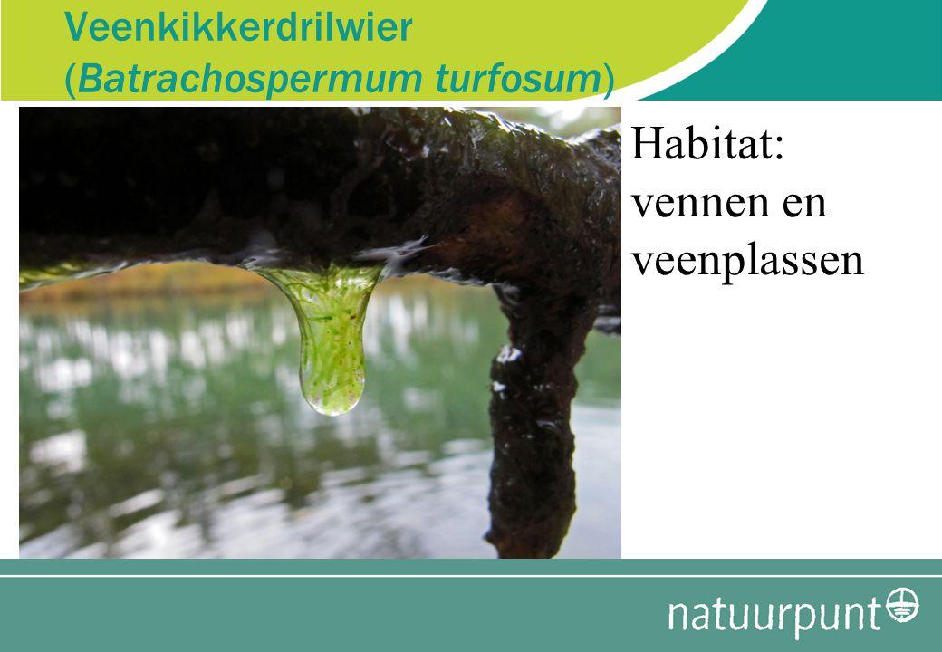 Veenkikkerdrilwier (Batrachospermum turfosum) Habitat: vennen en veenplassen