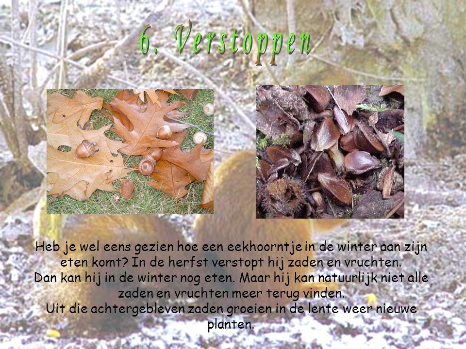 Heb je wel eens gezien hoe een eekhoorntje in de winter aan zijn eten komt? In de herfst verstopt hij zaden en vruchten. Dan kan hij in de winter nog
