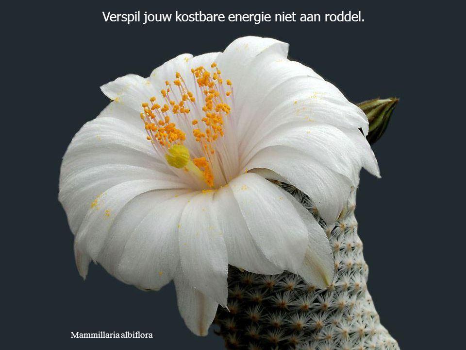 Escobaria wissmannii Probeer elke dag minstens drie mensen te doen glimlachen.