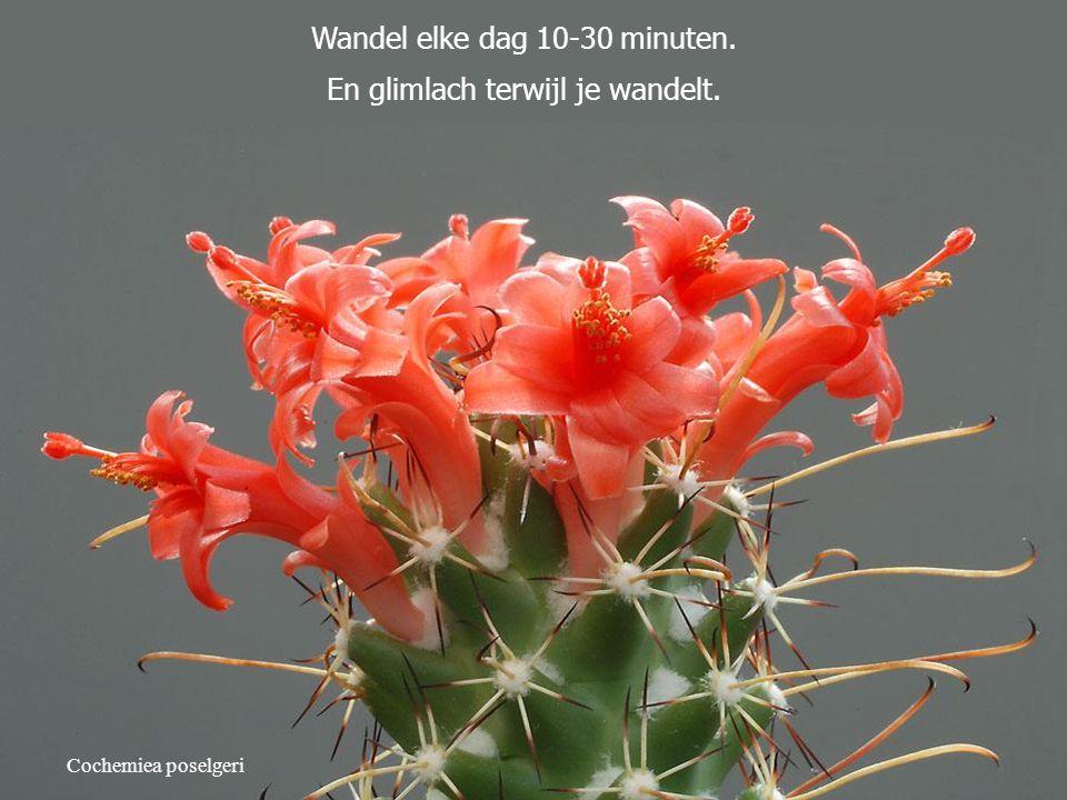 Cochemiea poselgeri Wandel elke dag 10-30 minuten. En glimlach terwijl je wandelt.